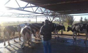 Lee más sobre el artículo Preparativos de la EXPORURAL: 3° Competencia de Vacas a Campo